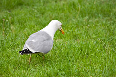 Seagull walking on grass Royalty Free Stock Photos
