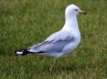 Seagull walking in green grass during Michigan summer Royalty Free Stock Photo