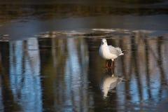 Seagull walking on ice Stock Image