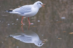 Seagull walking on ice. A seagull walking on a frozen pond on Southampton Common, Hampshire, UK Royalty Free Stock Photo