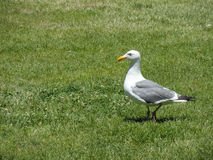 Seagull Walking on Lawn Royalty Free Stock Photos