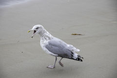 Seagull walking with mouth open. A very vocal seagull walking on the beach Stock Photo