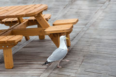 Seagull walking near a picnic table on a wooden floor. Royalty Free Stock Photos