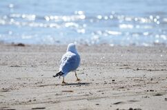 Free Seagull Walking On The Beach Royalty Free Stock Photography - 176060387