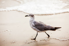 Free Seagull Walking On Virginia Beach Royalty Free Stock Photography - 49719667