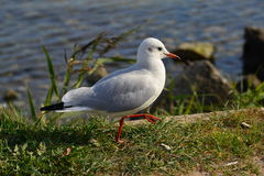 A seagull walking Stock Image
