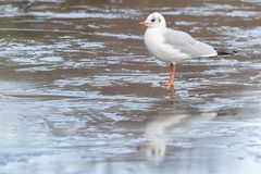 A seagull walking on an icy pond royalty free stock photography