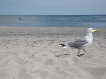Seagull walking out of picture  Stock Photo