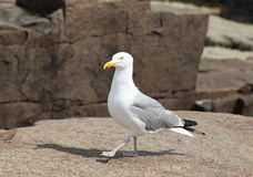 Seagull. Walking on a rock royalty free stock photography
