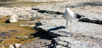 Seagull walking on rocky shore. Seagull walking on the sea shore on the rocks in search of food Stock Photos