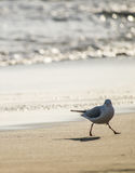 Seagull walking on sand beach in front of the sea Stock Photos