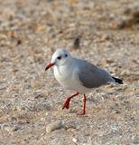 Seagull walking on sand Royalty Free Stock Photo