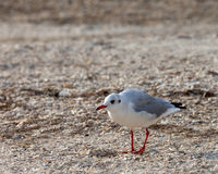 Seagull walking on sand Royalty Free Stock Images