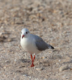 Seagull walking on sand Stock Image
