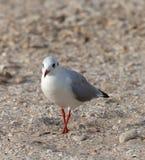 Seagull walking on sand Stock Image