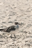 Seagull walking on a sandy beach Royalty Free Stock Photography