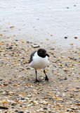 Seagull walking at the sandy beach Stock Photography