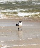 Seagull walking at the sandy beach Royalty Free Stock Images