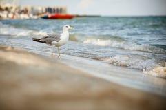 Seagull walking on sea beach Royalty Free Stock Photos