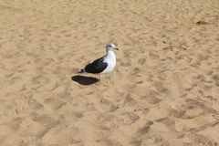Seagull walking by the shore Royalty Free Stock Photos
