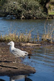 Seagull walking on shore of pond Royalty Free Stock Photo