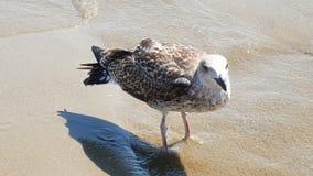 Seagull walking on shore sea. Seagull walking on shore at sea stock video