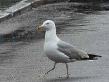 Seagull walking on street Royalty Free Stock Photo