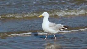 Seagull walking throught the sea along the beach