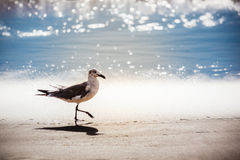 Seagull walking on Virginia Beach Royalty Free Stock Images