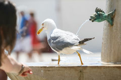 Seagull walking on water fountain Stock Image