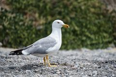 The seagull royalty free stock photo
