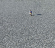 Seagull walks along a parking lot Royalty Free Stock Photo