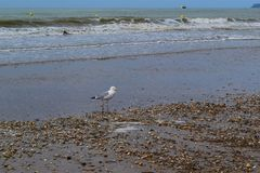 Seagull walks along the shore of the Strait with shells thrown ashore stock photo