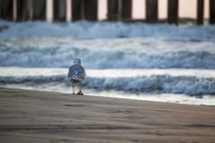 Seagull walks away Stock Images