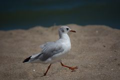 Seagull. Walks on a beach Stock Image