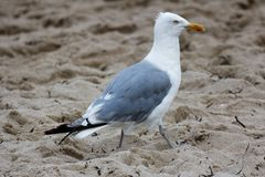 Seagull walks on Sandy Beach Royalty Free Stock Image