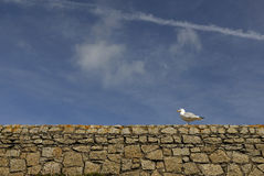 Seagull on Wall Royalty Free Stock Photo