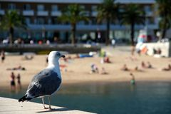 Seagull on a wall in Cascais bay, Portugal. 