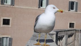 Seagull on the wall in the city appears. In the foreground stock footage
