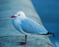 Seagull on wall Royalty Free Stock Photos