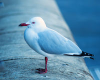 Seagull on wall Stock Image