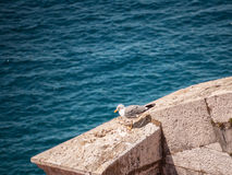 Seagull on a wall Royalty Free Stock Photography