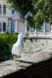 Seagull on a wall of Miramare Castle in Trieste Royalty Free Stock Photos
