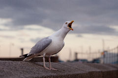 Seagull on the wall Stock Images