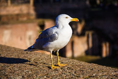 Seagull on the wall of Palatino Royalty Free Stock Image