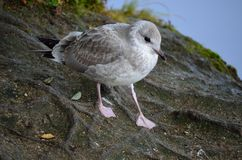 Seagull wandering. On pond shore Stock Photos