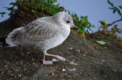 Seagull wandering on pond. Shore Stock Images