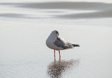 Seagull washes up in the sea Stock Photo