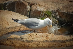 Seagull washing beak. Royalty Free Stock Image
