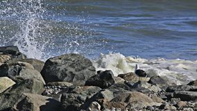 Seagull Watches Waves Breaking On Rocks. This lone seagull watches the waves break high in front of him as water splashes overhead royalty free stock photos
